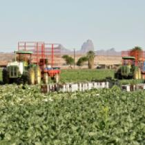 Harvest South of Picacho Peak